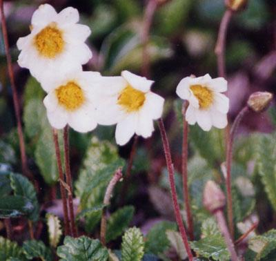 dryas in flower