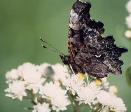 Green Comma butterfly nectaring on Pearly Everlasting