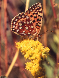 Oregon silverspot butterfly nectaring on goldenrod